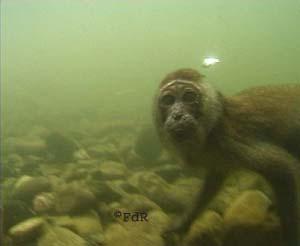 Le singe qui a traversé la mer